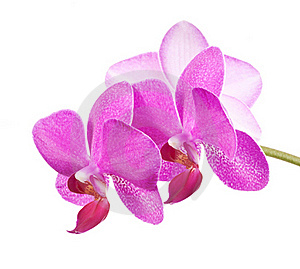 Orchid Royalty Free Stock Images - Image: 18415989