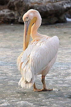 Pelican Royalty Free Stock Image - Image: 18416936