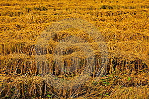 Harvest Rice Farms. Royalty Free Stock Images - Image: 18417489