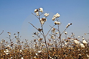 Cotton Farms Royalty Free Stock Photos - Image: 18417558