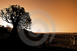 Quiver Trees Royalty Free Stock Photos - Image: 18417588