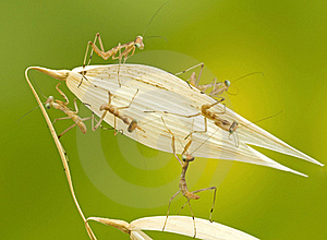 Macro Of Little Praying Mantises Stock Image - Image: 18422261