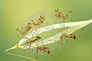 Macro Of Little Praying Mantises Stock Photography - Image: 18422532