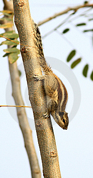 Alert Squirrel Royalty Free Stock Image - Image: 18427486