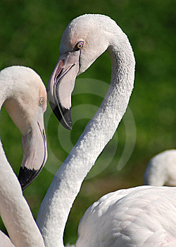 Flamingo Royalty Free Stock Image - Image: 18427916