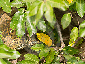 Nile Monitor Under Cover Stock Photography - Image: 18428132