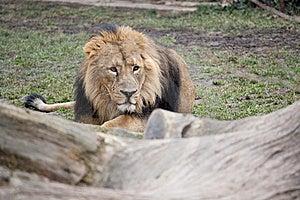 潜伏的狮子 库存照片 - 图片: 18431443