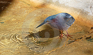 Green Heron Stock Photos - Image: 18433453