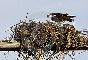 Osprey Adult And Offspring In Nest Stock Images - Image: 18434384
