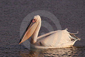 White Pelican Royalty Free Stock Photography - Image: 18437297