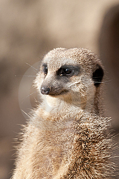 Suricate Or Mongoose Or Meerkat Stock Photo - Image: 18437570