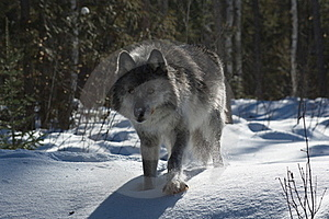 Gray Wolf Stock Photo - Image: 18442260