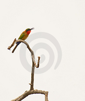 A Red-throated Bee-eater On A Twig Royalty Free Stock Photos - Image: 18447918