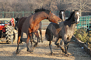 Horse Attack Royalty Free Stock Photo - Image: 18450035