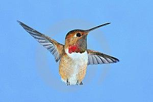 Male Rufous Hummingbird Royalty Free Stock Photography - Image: 18453157