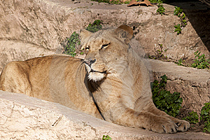 Lioness Resting Royalty Free Stock Photos - Image: 18475918