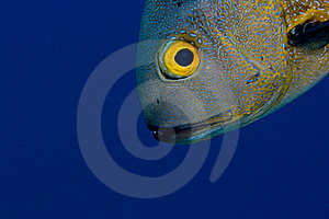 Midnight Snapper Face In The Blue Stock Photography - Image: 18477592