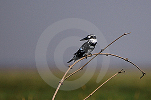 Pied Kingfisher Royalty Free Stock Image - Image: 18480966