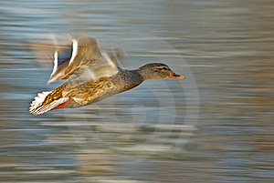 Flying Duck (Anas Platyrhynchos) Royalty Free Stock Photography - Image: 18483147