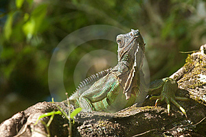 Iguana Royalty Free Stock Images - Image: 18488129