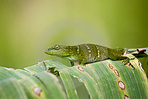 Lizard Royalty Free Stock Photo - Image: 18488145