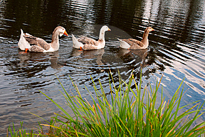 Three Gooses Royalty Free Stock Photo - Image: 18492915