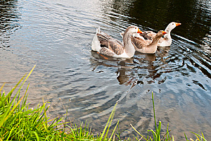 Three Gooses Stock Photos - Image: 18492923