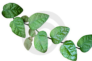 Ficus Pumila Leaves Royalty Free Stock Photography - Image: 18499147
