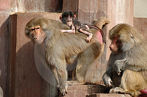 Monky Family Royalty Free Stock Image - Image: 1854296