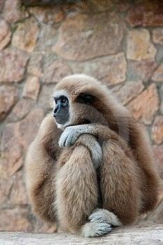 Gibbon Royalty Free Stock Images - Image: 18511069