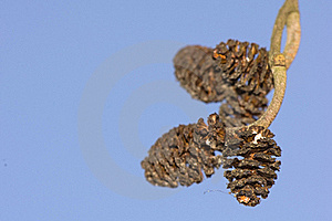 Alder Cones Stock Photos - Image: 18512223