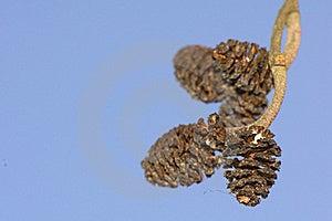 Alder Cones Stock Photos - Image: 18512223