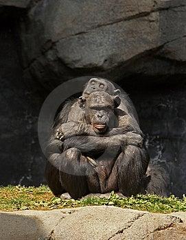 Chimpanzee Love Stock Image - Image: 18531071
