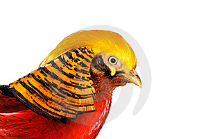 Golden Pheasant Royalty Free Stock Photography - Image: 18533197