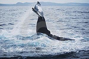 Humpback Whale Stock Photo - Image: 18533830