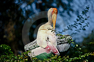 Painted Stork Stock Image - Image: 18536051