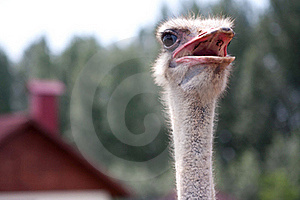 Ostrich Royalty Free Stock Photography - Image: 18537347