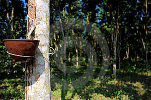Rubber Plantation Stock Photo - Image: 18543040