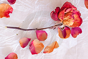 Dry Red Rose Royalty Free Stock Photo - Image: 18546895