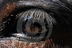 Eye Of A Mule Royalty Free Stock Photos - Image: 18551118
