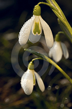 Snowdrops  In Morning Dew Royalty Free Stock Photo - Image: 18552915