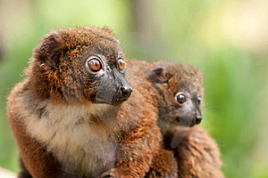 Cute Red-bellied Lemur With Baby Stock Images - Image: 18559824