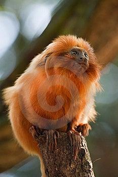 Golden Lion Tamarin Royalty Free Stock Image - Image: 18559946