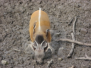 Red River Hog In Mud Royalty Free Stock Photos - Image: 18564208