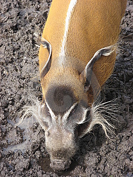 Red River Hog In Mud Stock Image - Image: 18564231