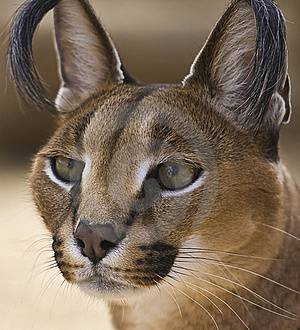 Portrait Of A Caracal Cat Royalty Free Stock Image - Image: 18565216