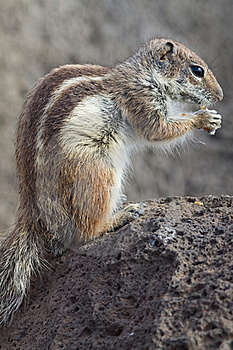 Ground Squirrel Stock Image - Image: 18566901