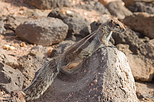 Ground Squirrel Stock Photos - Image: 18566913