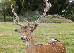 Deer Licking Its Lips Royalty Free Stock Photo - Image: 18570715