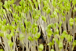 Lettuce Seedlings Royalty Free Stock Image - Image: 18583296